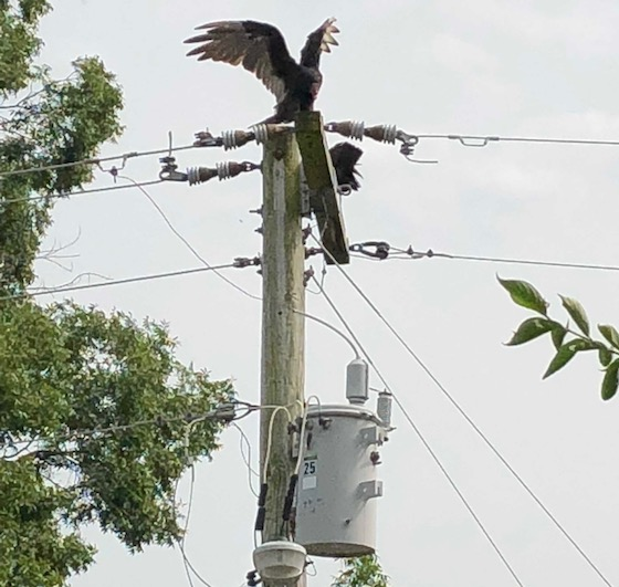 buzzard on pole